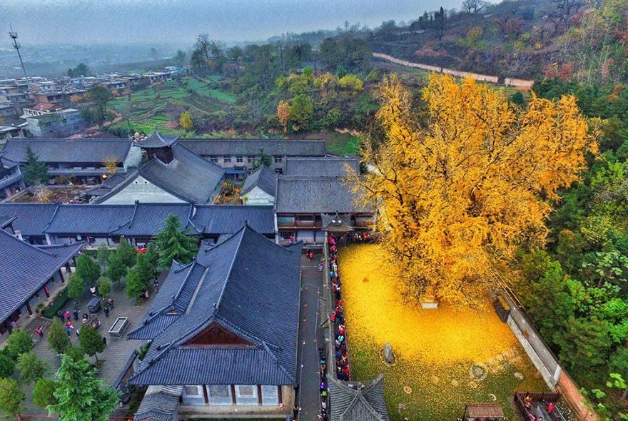 1400-old-ginkgo-tree-yellow-leaves-buddhist-temple-china-2