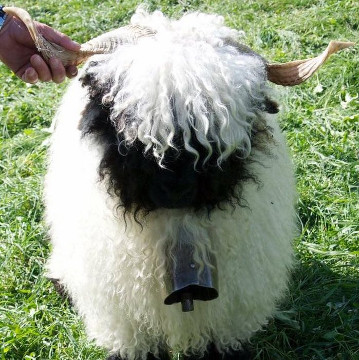 valais-blacknose-sheep-27-5810a886cf110__700